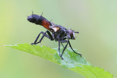 Tachinid fly Royalty Free Stock Image