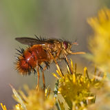 Tachinid fly on rabbit brush blossom Stock Photos