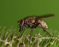 Tachinid Fly, Siphona geniculata Royalty Free Stock Image