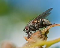 Tachinid Fly, Siphona geniculata Stock Photography