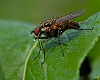 Tachinid Fly, Siphona geniculata Stock Image