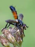 Tachinidae Cylindromyia bicolore Fotografia Stock Libera da Diritti