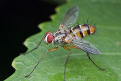 Tachinidae fly Stock Images