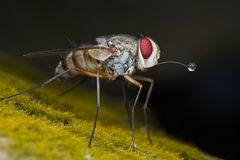 A tachinidae fly blowing bubble Stock Image