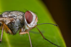 A Tachinidae fly, Prosena siberita Stock Image