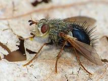 Tachnid Fly On A Dried Leaf. Closeup of Tachnid fly on a dried leaf Stock Photo