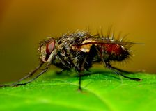 Tachnid Fly Royalty Free Stock Image
