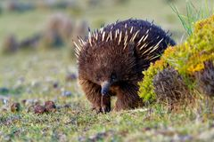 Tachyglossus aculeatus - Short-beaked Echidna in the Australia. N bush Royalty Free Stock Photography