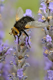 Tachyna fly on lavender flower Royalty Free Stock Image