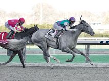 Tacitus Captures the Wood Memorial Stakes. Tacitus, a super 3 year old ,gray colt, by Tapit and Closed Hatches. This well bred colt shown here with jockey Jose stock photography