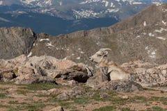 Tacka för Bighornfår med lammet Arkivbild