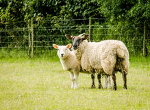 Tacka och henne Lamb Arkivbild