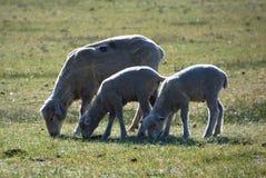Tacka och två lamm, Carson City, Nevada Arkivbilder