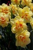 Tacksägelsepunkt blommar med vattendroppar arkivbilder