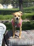 Taco Bell ostacola il cane fotografia stock
