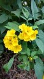 Tacoma-stans, gelbe Älteste, Trompetenblumen, Stockbild
