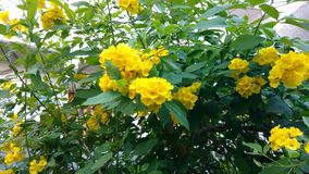 Tacoma-stans, gelbe Älteste, Trompetenblumen, Stockfotos