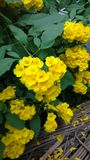 Tacoma-stans, gelbe Älteste, Trompetenblumen, Lizenzfreie Stockbilder