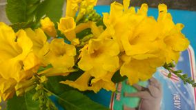 Tacoma-stans, gelbe Älteste, Trompetenblumen, Lizenzfreies Stockbild