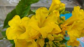 Tacoma-stans, gelbe Älteste, Trompetenblumen, Lizenzfreie Stockfotografie