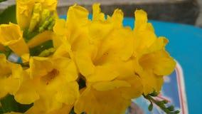 Tacoma-stans, gelbe Älteste, Trompetenblumen, Stockfotografie