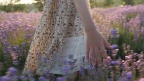 Tacto apacible de la niña de la mano de los fingeres del primer estación floreciente de la lavanda de las flores de las plantas almacen de video