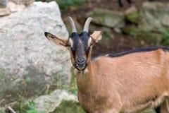 Tacto de mirada de una pequeña cabra de montaña con una capa marrón clara fotos de archivo libres de regalías