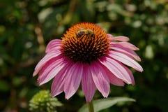 Tacto del polen Fotografía de archivo libre de regalías