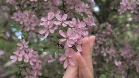 Tactos de la mano de la muchacha y caricia de las flores rosadas florecientes del árbol metrajes