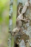 Tadellos verdeckter moosiger Blatt-angebundener Gecko lizenzfreie stockfotos