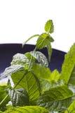 Tadellose Blätter auf einer blauen Platte Stockfotos