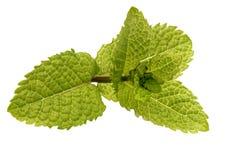 Tadellose Blätter getrennt auf Weiß Stockbild