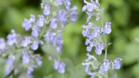 Tadellose Blumen der Katze stock video footage