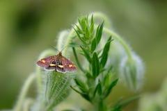 Tadellose Motte (Pyrausta aurata) auf Borage stockfotos