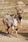 Tadjik Markhor (Capra falconeri). Bukharan Markhor, also known as Turkomen Markhor or Tadjik Markhor (Capra falconeri heptneri) is an endangered goat-antelope Stock Images