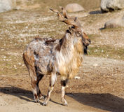 Tadjik Markhor (Capra falconeri). Bukharan Markhor, also known as Turkomen Markhor or Tadjik Markhor (Capra falconeri heptneri) is an endangered goat-antelope Stock Photos