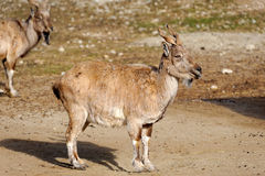 Tadjik Markhor (Capra falconeri). Bukharan Markhor, also known as Turkomen Markhor or Tadjik Markhor (Capra falconeri heptneri) is an endangered goat-antelope Royalty Free Stock Photo