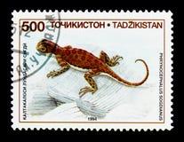 Tadjikistan Toadhead Agama, jaszczurki s (Phrynocephalus sogdianus) Zdjęcia Royalty Free
