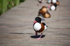 Tadorna Tadorna Enten oder shelduck mit dem roten Schnabel und weißem schwarzem braunem Gefieder auf grünem Gras und hölzernem Hi stockfotos