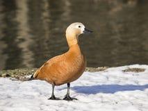 Tadorna ferruginea. Portrait of a duck Tadorna Ferruginea (Ruddy shelduck) stops on the bank of a pond Stock Photo
