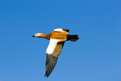Tadorna ferruginea, Ruddy Shelduck Royalty Free Stock Photo