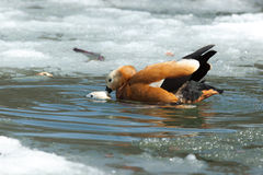 Tadorna ferruginea, Ruddy Shelduck. Royalty Free Stock Images
