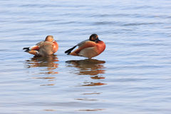 Tadorna Ferruginea, Ruddy Shelduck. Royalty Free Stock Photo