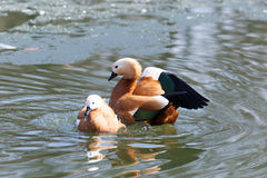Tadorna ferruginea, Ruddy Shelduck. Stock Photo