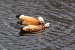 Tadorna ferruginea, Ruddy Shelduck. Stock Photos