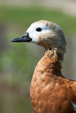 Tadorna ferruginea, Ruddy Shelduck. Royalty Free Stock Image