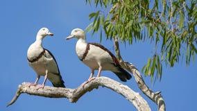 Tadorne de Radjah généralement connue sous le nom de canard de Burdekin images libres de droits