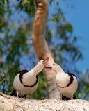 Tadorne de Radjah généralement connue sous le nom de canard de Burdekin images stock
