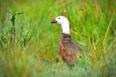 Tadornes Putangitangi de paradis en Travis Wetland Nature Heritage Park au Nouvelle-Zélande photographie stock
