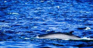 Tadoussac加拿大:冲浪在汹涛的鲸鱼 库存图片